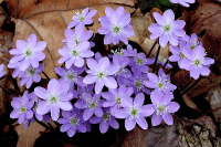Hepatica acutiloba (photo by R.W. Smith) Spring, beech-maple forests.