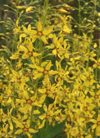 Lysimachia terrestris (Swamp-candles), photo by R.W. Smith. Mid-summer, marshes and fens.