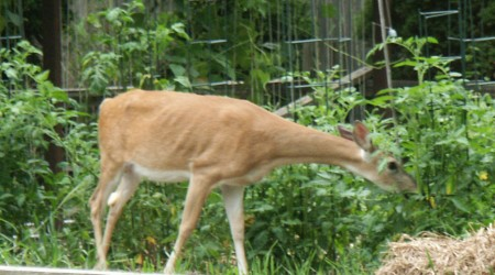 Deer browsing in a vegetable garden in Ann Arbor. Note the visible rib structure.