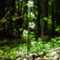 Mitella diphylla (Bishop's Cap), spring, rich forest. Photo by C. Peirce.