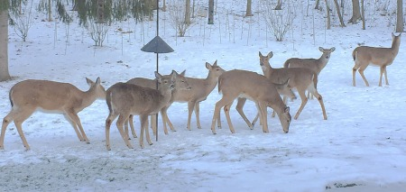 Nine deer winter 2015