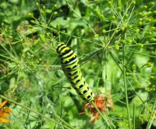 A swallowtail butterfly caterpillar in an Ann Arbor backyard